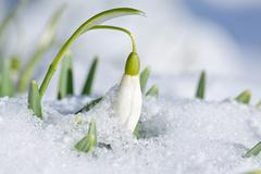 spring snowdrop flower (galanthus nivalis l.) with snow in the garden - stock photo