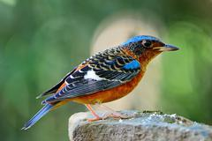 white-throated rock-thrush - stock photo