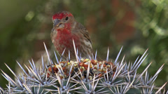 House Finch Eats Seeds Stock Footage