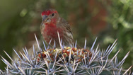 Stock Video Footage of House Finch Eats Seeds