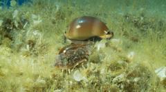 Underwater footage sea shells porcelain corsica corse mediterranean - stock footage