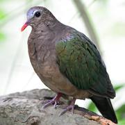 Emerald dove Stock Photos