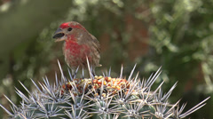 House Finch Sunflower Seeds Stock Footage