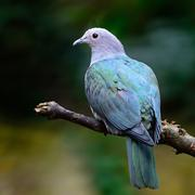 Green imperial pigeon Stock Photos