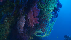 Underwater footage black and red coral diver corsica corse mediterranean Stock Footage