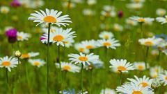 Camomile flowers. 4K. FULL HD, 4096x2304. Stock Footage