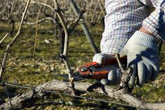 Worker pruning grapevines - stock photo