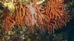Underwater footage red coral corsica corse mediterranean Stock Footage