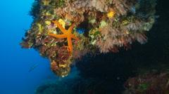 Underwater footage black coral starfish corsica corse mediterranean Stock Footage
