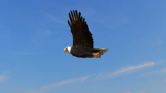 Bald Eagle flys in the sky Stock Footage
