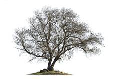 Leafless ash-tree isolated on white - stock photo