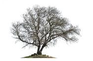 Stock Photo of Leafless ash-tree isolated on white