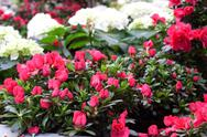 Stock Photo of Azalea