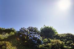 Hortensias in Faial, Azores - stock photo