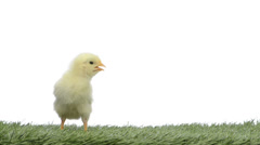 chick standing in grass and chirping - stock footage