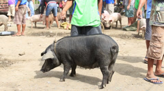 Unidentified people buying and selling pigs market. Philippines. Stock Footage