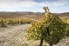 Vineyards in the fall - stock photo