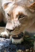 Lion (Panthera leo) in the Casela National Park, Mauritius, November 2010 - stock photo