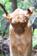 Lion (Panthera leo) in the Casela National Park, Mauritius, November 2010 Stock Photos