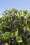 Picconia azorica shrub Stock Photos