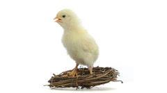 Stock Video Footage of chick standing in a nest and chirping