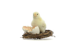 chick standing next to its egg in a nest and chirping - stock footage