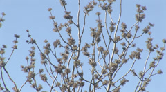 Spring buds on a tree Stock Footage