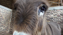 Donkey Head, Mules, Farm Animals - stock footage