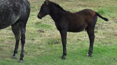 Pony, Miniature Horse, Horses, Farm Animals Stock Footage