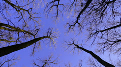 Rotating oak trees on the spring blue sky Stock Footage