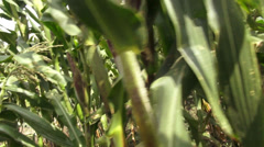 Corn, Crops, Rows of Corn, Stalks Stock Footage