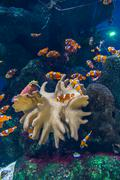 Clown fishes and zebrasoma yellow fish in aquarium Stock Photos