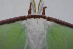 Luna Moth--Front/Top View - stock photo