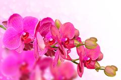 big purple orchid flowers branch on blurred bokeh - stock photo