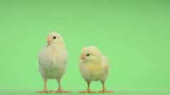 Two chicks standing in front of a green key Stock Footage