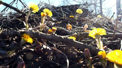 Fresh yellow coltsfoot flowers (Tussilago farfara) in early spring dolly Stock Footage
