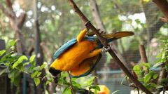 Macaw Blue Golded on a tree Stock Footage