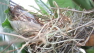 Stock Video Footage of 3 eggs in a Cardinal's Nest