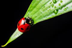 Low key macro shot of a lady bug on a wet leaf Stock Photos