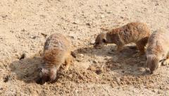 Meerkats searching for food. Suricates. Suricata suricatta. Stock Footage