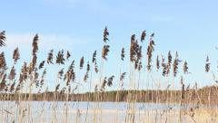 Reeds swinging lightly in springtime - stock footage