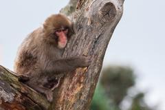 Macaque (snow) monkey's Stock Photos