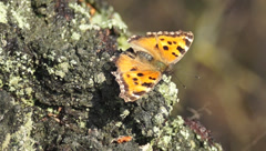 Butterfly Mnogotsvetnitsa black-red, Nymphalis polychloros Stock Footage