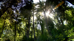 Sunlight in the forest Big Sur Redwoods Stock Footage