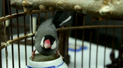 Close-up of a lovely bird(Java Sparrow) feeding itself in the cage Stock Footage