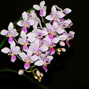 phalaenopsis equestris - stock photo
