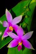 phalaenopsis violacea - stock photo