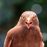 Rufous-winged buzzard Stock Photos