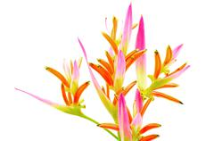 Heliconia sassy Stock Photos