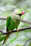 Male alexandrine parakeet Stock Photos